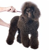 Brown Poodle And Comb
