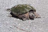 Common Snapping Turtle Tu042