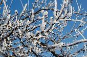 Winter Snow Branches Of Tree On A Blue Sky