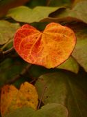 Heart Shaped Autumn Leaf