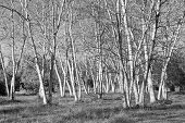 White Birch BW