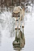 Wolf Stare-down