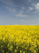 pic of seed bearing  - vivid yellow flowers in a field of this oil bearing crop  - JPG