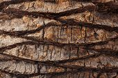 Cracked Bark Of Old Palm Trees