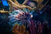 stock photo of lion-fish  - Beautiful Lion Fish Pterois Swimming Alone in a Big Aquarium