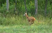 picture of roebuck  - Roebuck jumping on high grass beside forest - JPG