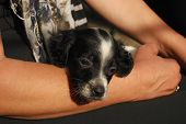 stock photo of english setter  - Newborn English setter puppy cradling in female hands - JPG