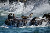 stock photo of sea lion  - Sea lions on wave - JPG