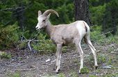 Bighorn Sheep In The Wild