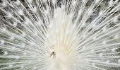 Closeup White Peacock