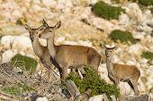 picture of cervus elaphus  - Three deers  - JPG