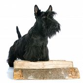 image of scottish terrier  - Scottish Terrier in front of white background - JPG