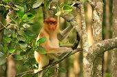 stock photo of malaysia  - Young Proboscis monkey sitting on a tree Borneo Malaysia