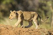 African Lion Cub (panthera Leo) South Africa