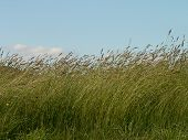 Tall Grass In Breeze