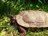 Wood Turtle Side