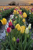 Rows Of Mixed Color Tulip Flowers