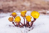 foto of adonis  - First yellow flowers Adonis among melting snow in the early spring