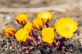 picture of adonis  - Yellow flowers Adonis in the early spring