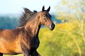 Arabian horse portrait in motion.
