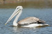 Pink-backed Pelican Floating Slowly By