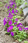 stock photo of primrose  - Purple primroses  - JPG