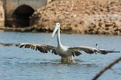 Pink-backed Pelican With Huge Wingspan Lunging For Fish