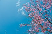 The Wild Himalayan Cherry With Blue Sky