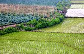 pic of bangladesh  - close up of Green Crop field of Bangladesh - JPG