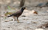 Common Myna Of Indian Subcontinent
