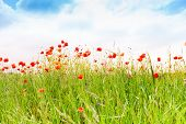 Sky and poppy flowers background