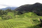 image of cameron highland  - View of tea plantation in Cameron Highlands in Malaysia - JPG