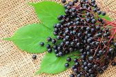 Freshly picked Elderberry (Sambucus Berries) on the leaves