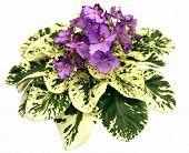 Violet Violets