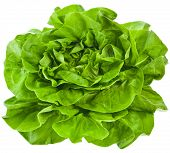 image of water cabbage  - Bunch of Fresh Green Salad Isolated On White Background - JPG