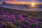 beauty rhododendron in high mountains