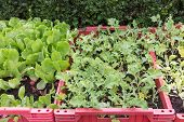 picture of escarole  - Grow vegetables in red plastic boxes growing in the sun - JPG