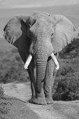 Elephant Portrait