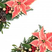 Poinsettia flower background border for thanksgiving and christmas with gold baubles, fir, holly, mistletoe, ivy and cedar cypress leaf sprigs over white.