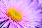 Natural background from New York Aster  (Aster dumosus). Closeup with shallow DOF.
