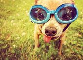 a cute chihuahua wearing goggles in the grass with his tongue out toned with a retro vintage instagram filter effect (focus on the eyes inside the goggles)