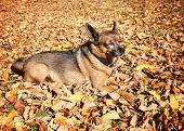 a cute chihuahua in a pile of leaves on a sunny autumn day