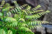 Curry leaves growing healthy outdoors