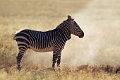 Cape Mountain Zebra (Equus zebra) in dust, Mountain Zebra National Park, South Africa