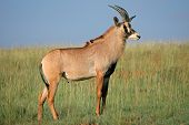 A rare roan antelope (Hippotragus equinus) standing in grassland, South Africa