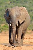 Mud covered African elephant (Loxodonta africana), Addo Elephant National park, South Africa