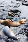 Sea lions with babies at rocky coast of Galapagos island