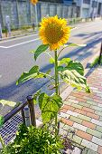 Sunflower On  Sidewalk