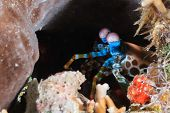 Mantis Shrimp Peering Out Of A Hole