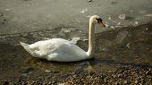 White swan on frozen lake stand still
